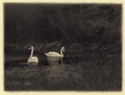 Two Swans - miniature drawing