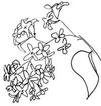 Lilacs Sketch