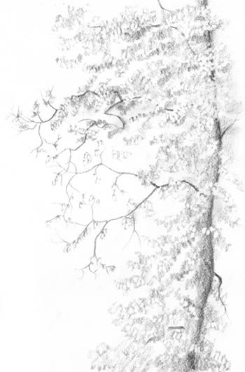 The calligraphy of trees carol s drawing