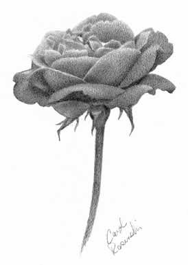 Draw An Open Rose Carol S Drawing Blog