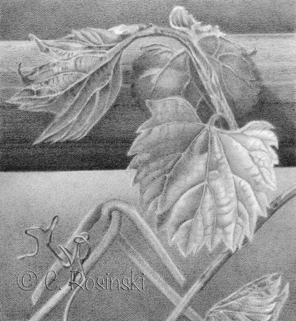 Grape Leaves In Graphite Carol S Drawing Blog